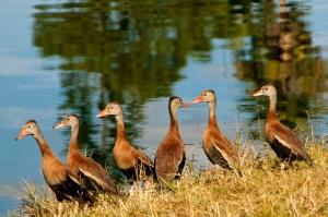 Cart ducks in line almost iphoto