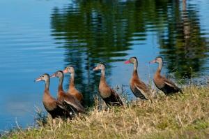 Cart ducks in line iphoto