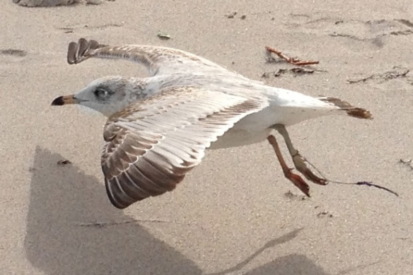 adverse gull hook