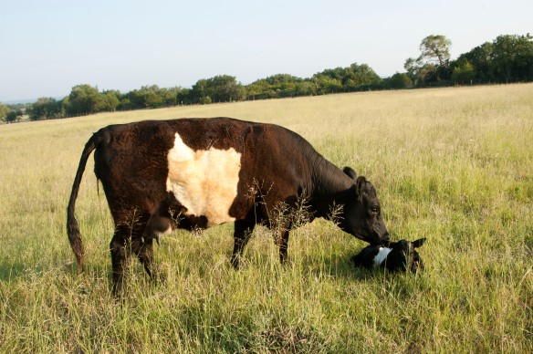 """Mom says - """"Hey, where did that little cow come from"""""""