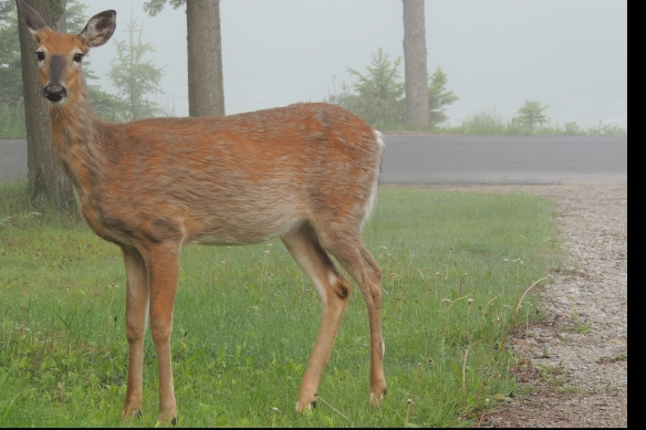 Deer in the foggy fron lawn