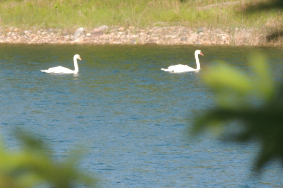 After the rain and fog - we can find the swans doing what the seem to a lot of -- just floating along with the breeze!
