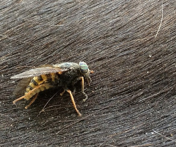 Horse Fly on Peral's back