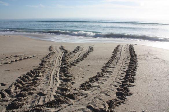 Florida tractor tracks -- not really -- Sea turtles heading back to sea - photo sent 2 me via Grandma