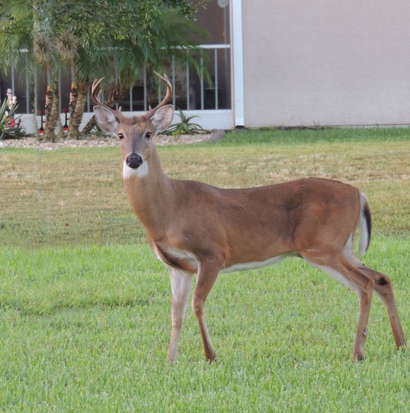 In our backyard yesterday morning  -- looking for a mate! Rut time!