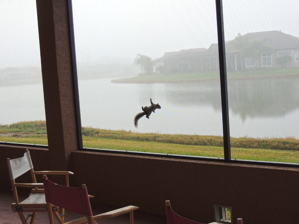 Do you think this squirrel was clowning around - he just ran around on our screen one foggy morning - we even brought chairs out to watch is performance.
