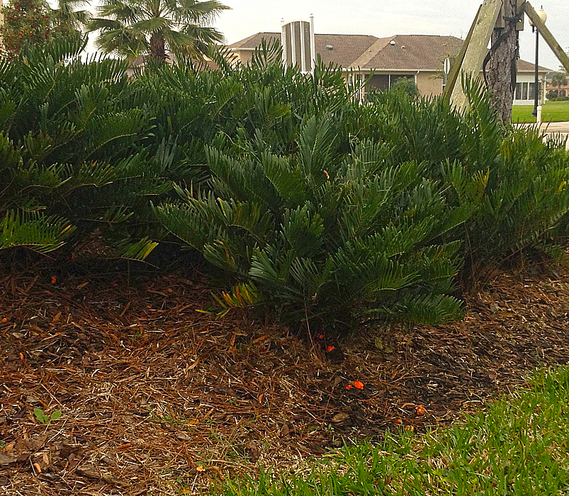 Yesterdays mystery - No they are not candy corn as some suggested, nor are the small peppers! They are by this plant called a Coontie - Native to this part of Florida.