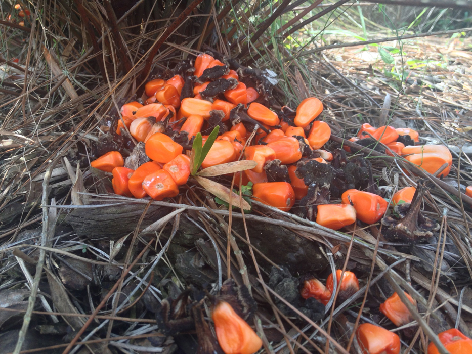 """When they are fully mature and """"explode"""" the ground lookalike this -- Now you know what they are - they are Coontie seeds."""