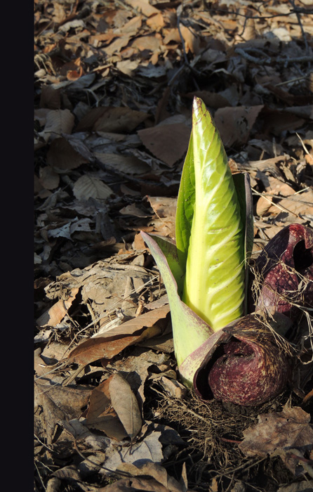 We saw a sure sign of spring - Skunk Cabbage
