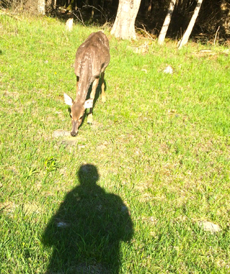 So I wanted to see if I could take a shadow selfie with my head shadow at the deer's nose - Why? - just to see if I could do it. Not quite - this time!