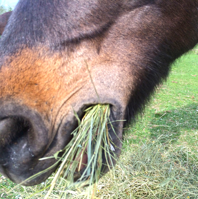 Forage is one of the most important components of your horse's diet. Hay provides most of a domesticated horse's forage intake. The amount of hay your horse needs every day will depend on the size of your horse and how active he is. The amount of nutrition that is in the hay also has a crucial role in how much is needed to sustain a healthy animal. Sponsored Link Official Costco Insurance Put Your Costco Membership to Work For You with Ameriprise Insurance! ameriprise.com​/​Costco-Insurance How Much Hay Does Your Horse Need Louisiana State University and the Humane Society of the United States agree that a horse needs to eat 1 to 2 percent of his body weight in roughage every day. If your horse has free access to plenty of grass, then grass can serve as his forage. If your horse has limited grass then you must make sure his diet is supplemented with hay. The average 1000 pound horse must eat approximately 10 to 20 pounds of hay every day according to LSU