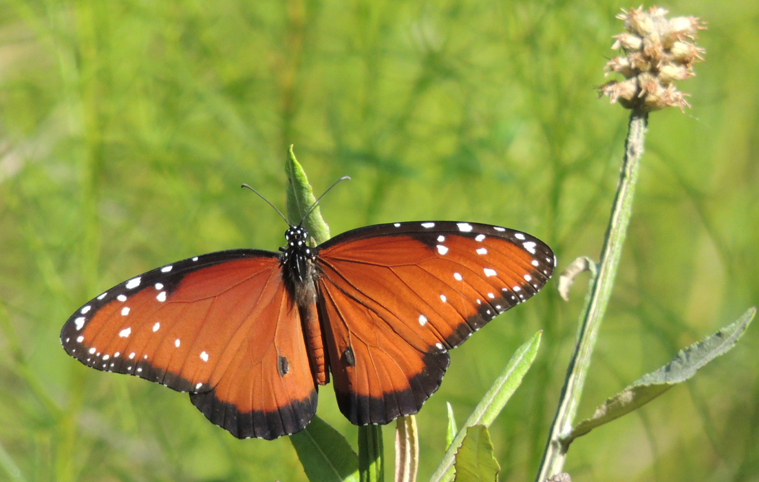 Eileen wrote: here is one. Taken with Nikon P510 F/5.9 ISO 400 August 9, 2014 on the TGO Nature Trail Eileen