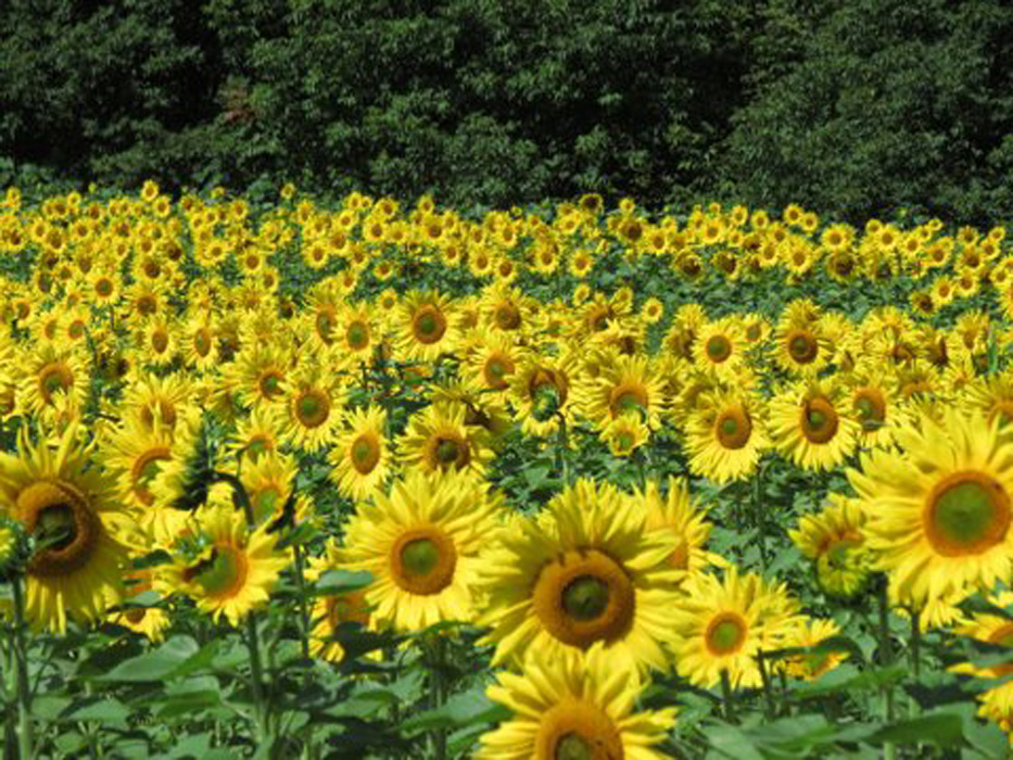 """Lind wrote: The pic I sent you of the field of sunflowers also appeared in the local paper (not my pic--reporters) with this interesting info.  The long-term goal is to grow enough flowers to produce enough biodiesel fuel to power the farm tractors and heat their home.  Seeds are harvested with a combine.  An oil press extrudes the oil from the seeds, """"transesterification"""" which involves combing the oil from the sunflowers with ethanol or methanol and lye under controlled conditions.  The meal by-product after processing is high-protein feed for the farm's beef cattle, pigs and chickens.  Neat!"""