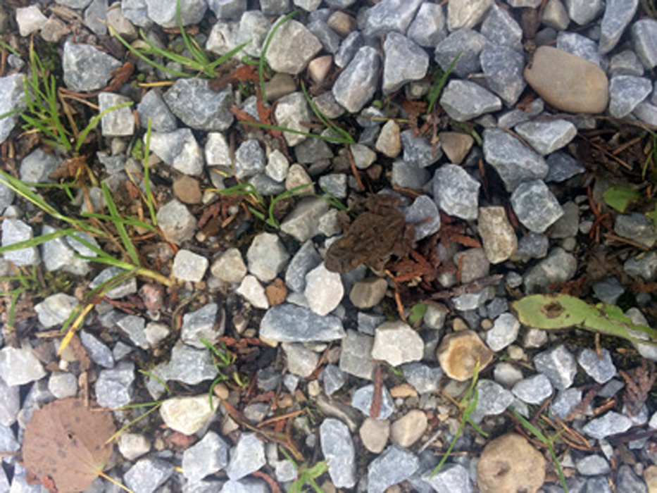 Most of the photos I take are, for sure, not perfect. I want to tell you about things in my day.  Today i wanted to tell you, at dinner, about the neat tiny toad I say today while doing barn work. This is what I saw - just a little movement in the gravel and grass barnyard.